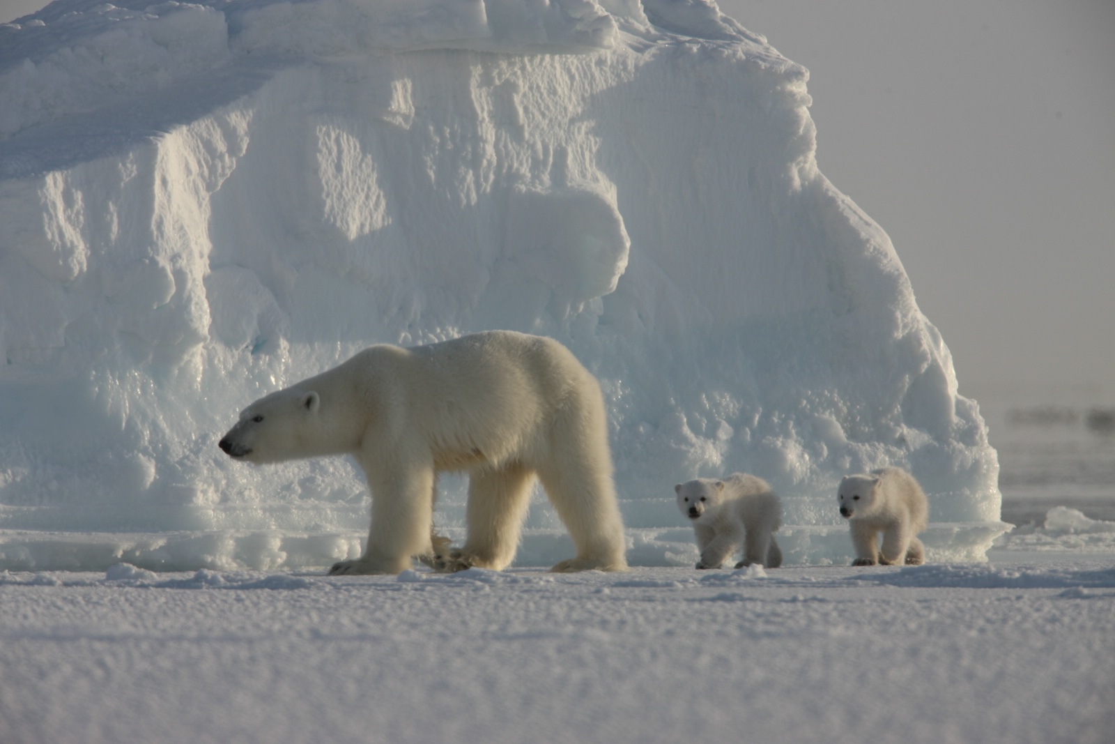 Polarbearfamily